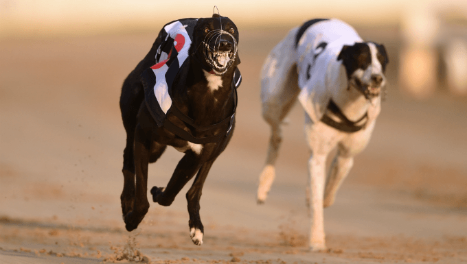 SIS Grows Irish Greyhound Racing Betting For Global Market